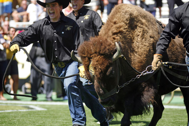 Ralphie the Buffalo stampedes onto the field escorted by his handlers at the Sept. 10 game against Cal. Photo: CU Independent - James Bradbury